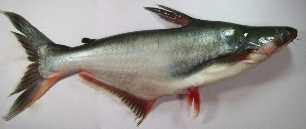 польза и вред, что за рыба, среда обитания