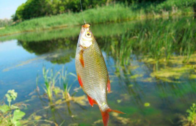Ловля рыбы на пшеницу